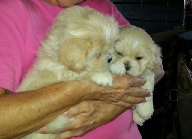 Lhasa Apso puppies, cute cuddley babies 6 weeks old