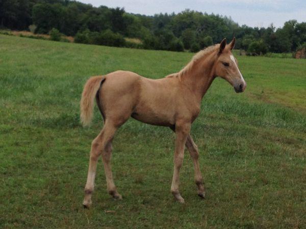 LI HORSE FORSALE