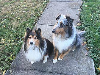 Libby Adoption Pending Sheltie Shetland Sheepdog Adult Female For