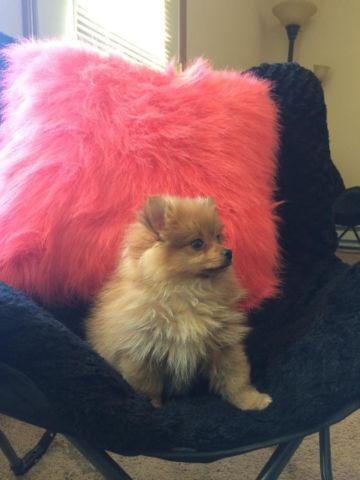 Light brown pomeranian dog/puppy for Sale in Spokane ...