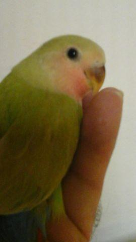 Light Cinnamon red tail Baby Lovebird. for Sale in ...