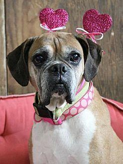 Lil Girl & Toni (In Foster) Boxer Adult Female