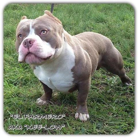 pocket bully puppies for sale lilac champagne pocket bully for sale in salinas 5209