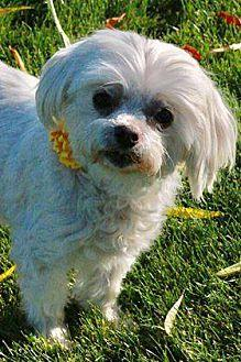 Lilly Maltese Senior Female for Sale in Wenatchee