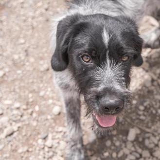 Lincoln German Wirehaired Pointer Puppy Male For Sale In Hailey