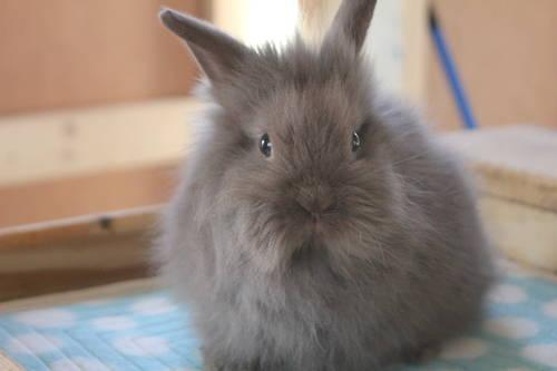 Lionhead house bunnies - 5 weeks - 1 Siamese, 2 gray for ...