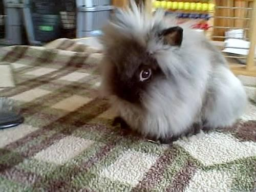 Flemish Giant Rabbits For Sale In North Carolina Classifieds