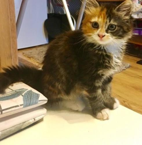 Litter Of 2 Maine Coon Kittens for Sale in Puyallup, Washington