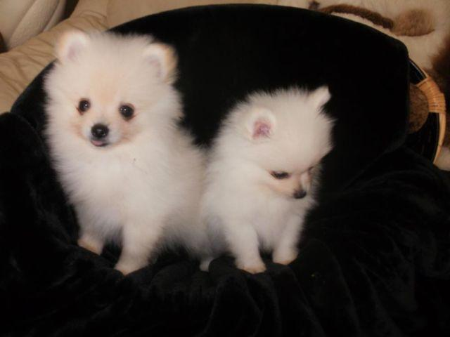 little cream puff CKC pomeranian puppies