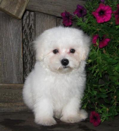 Little Creamy White Morkie Puppies Yorkie Maltese So Soft