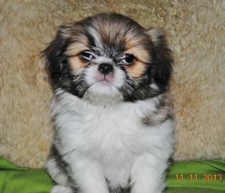 japanese chin shih tzu quot little lover quot romeo quot japanese chin shih tzu mix for 3442