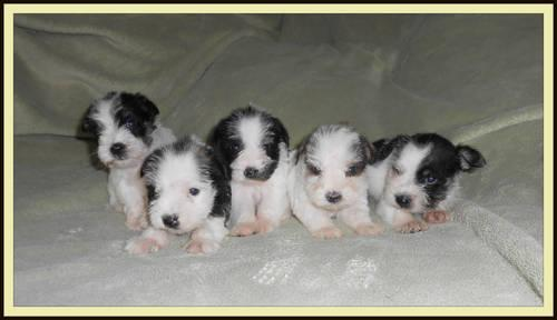 Little Miniature Schnauzer Puppies