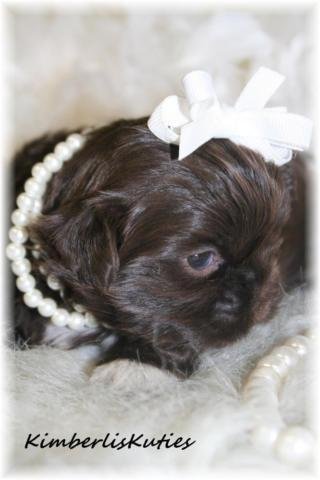 Little Paislee ~ Chinese Imperial Shih Tzu, Chocolate