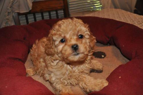 Little Rustyakcred Toy Poodlefamily Raiseded For Sale