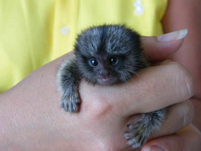 Little Sweet Marmoset Monkeys For Sale In Phoenix Arizona