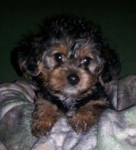Yorkie Poo For Sale In Oklahoma Classifieds Buy And Sell In