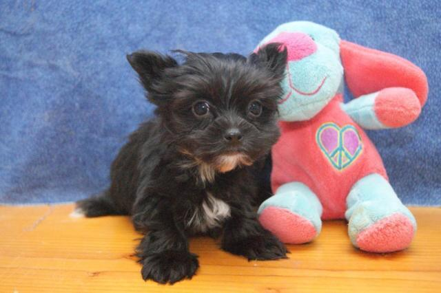 LIVELY MORKIE PUPPY--MALE--