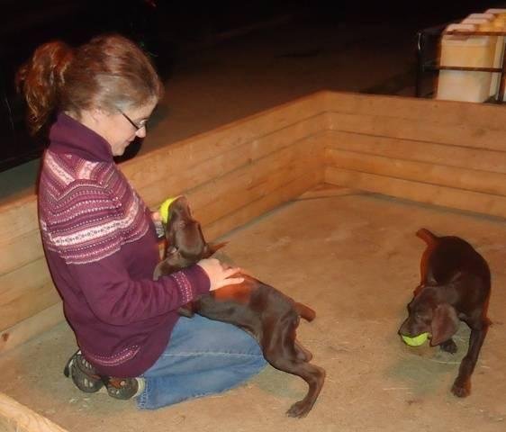 liver colored akc german shorthaired pointer puppy for
