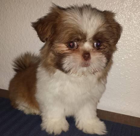 Liver Colored Akc Registered Teacup Shih Tzu Puppy For Sale In Davis
