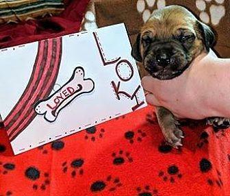 Loki Great Dane Puppy Male For Sale In Bullard Texas Classified