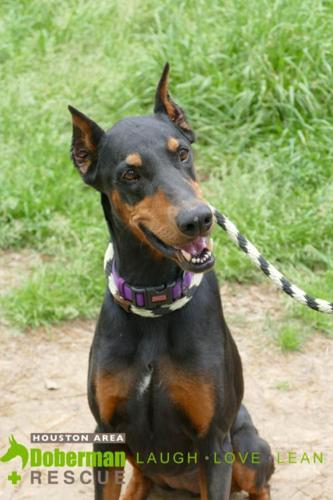 Lola Doberman Pinscher Adult - Adoption, Rescue