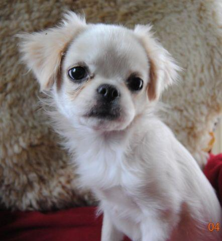japanese chin shih tzu quot lola the lover quot japanese chin shih tzu mix for sale 8939