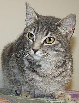 London Domestic Shorthair Adult Female