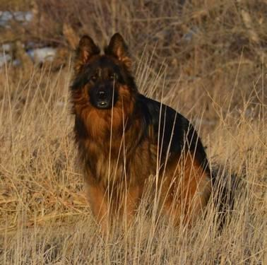 german shepherd puppies for sale in south dakota long coat german shepherd puppies for sale in fort pierre 376