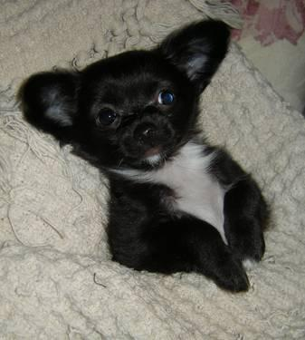 chihuahua for sale in pa long hair chihuahua puppies just reduced to for sale in 5957