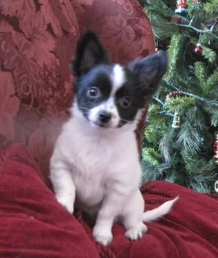 chihuahua for sale in va long hair chihuahua puppy for sale in colonial beach 4952