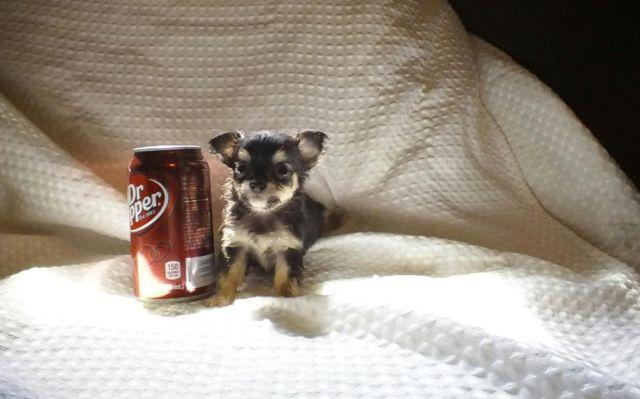 Teacup Chihuahua Puppies For Sale In Kentucky Classifieds Buy And