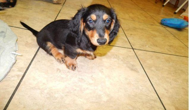 LONG HAIR MINI DACHSHUND, BLACK AND TAN (I am so cute)