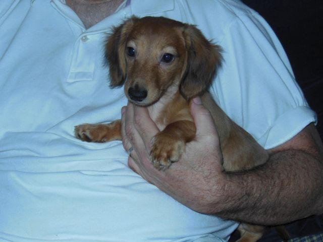 dachshund puppies Classifieds - Buy & Sell dachshund puppies across ...