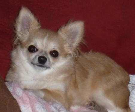 Teacup Chihuahua For In Wisconsin Clifieds And Americanlisted