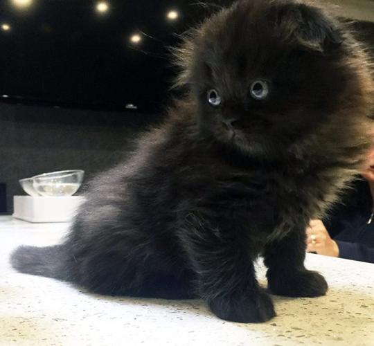 Kittens Domestic Long Hair Pets And Animals For Sale In The Usa