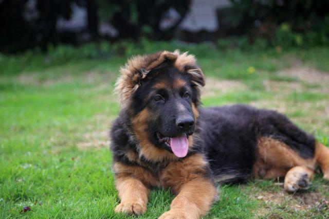 Male Long Haired German Shepherd Puppies Breeders For Sale In India