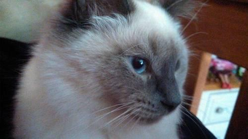 Siamese Cats For Sale In Virginia Classifieds Buy And Sell