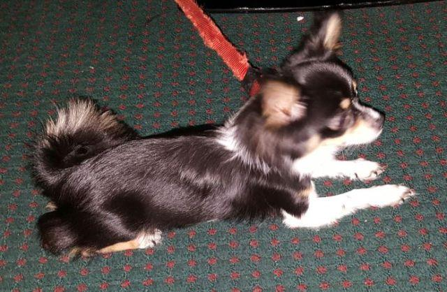 Long Haired chihuahua baby needs new home