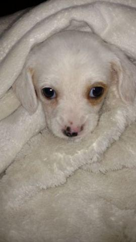 Long Haired Dachshund For Sale In Conroe Texas Classified