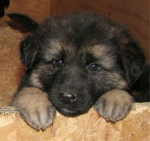 Long Haired German Shepherd Puppies For Sale In Morehead