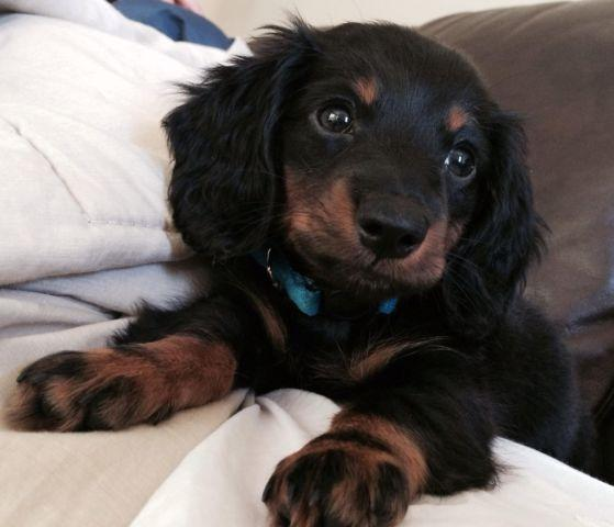 Long Haired Dle Dachshund For In Florida Clifieds