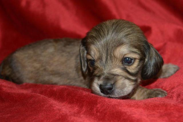 dachshund puppy for sale near jacksonville north carolina long haired miniature dachshund puppies for sale in 7274