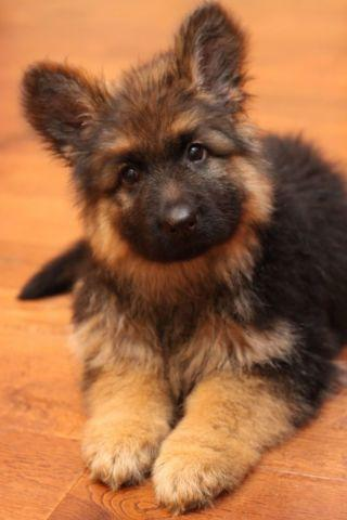 Car Rim Pets And Animals For Sale In Vancouver Washington Puppy