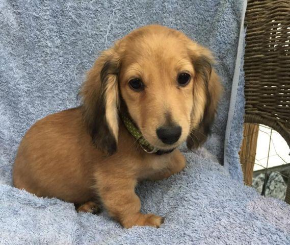 long haired dapple dachshund for sale in texas classifieds buy and