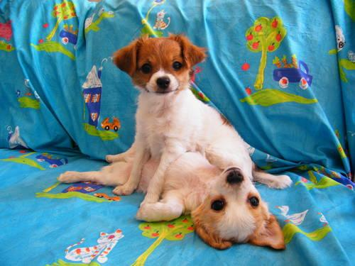 belleview-fl.americanl...Long Hair Chihuahua Puppies in Belleview ...