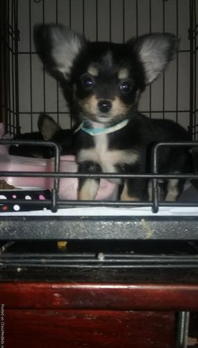 Teacup Chihuahua For Sale In Roanoke Virginia Classifieds Buy