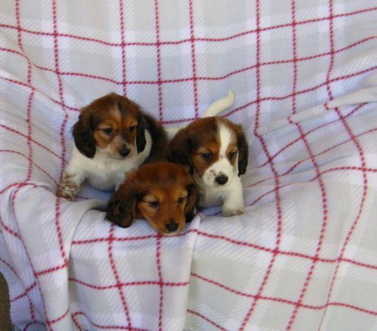 Longhair Miniature Dachshund Puppies For Sale In Hewitt Texas