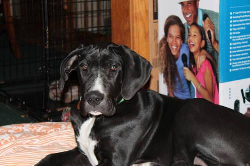 looking for a great dane or dane mastiff mix for sale in delta ohio