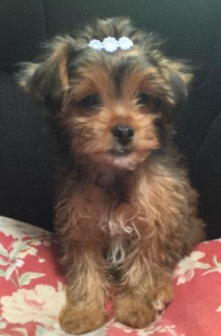 LOOKING FOR A PARTI-YORKIE STUD