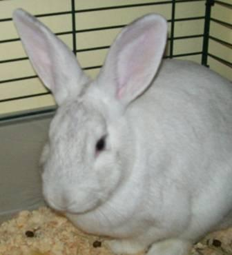 LOOKING FOR FLEMISH GIANT RABBIT